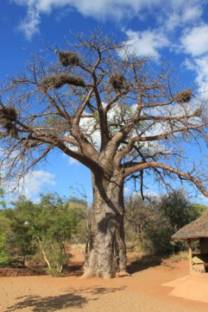 Garamtata Safaris Baobab Tree