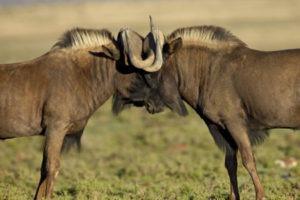 Black Wildebeest - African plains game hunting