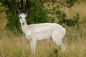 White Springbok